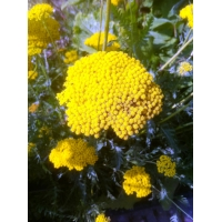 Achillea fillipendula Cloth of Gold (duizendblad)
