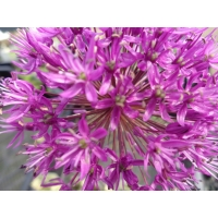 Allium aflatunense Purple Sensation (sierui)