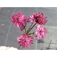 Astrantia major Claret (zeeuws knoopje)