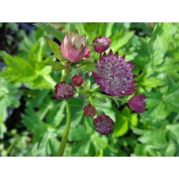 Astrantia major Lars (zeeuws knoopje)