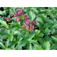 Astrantia major Rubra (zeeuws knoopje)