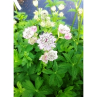Astrantia major (zeeuws knoopje)