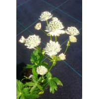 Astrantia major Alba (zeeuws knoopje)
