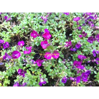 Aubrieta Red Carpet (randjesbloem)