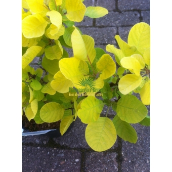 Cotinus coggygaria Golden Spirit (pruikenboom)
