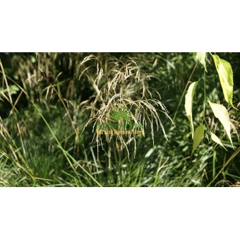 Deschampsia cespitosa (smele)