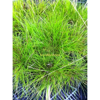 Deschampsia flexuosa Tatra Gold (smele)