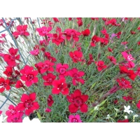 Dianthus deltoides Flashing Light (anjer)