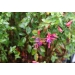 Fuchsia Tom Thumb (bellenplant)