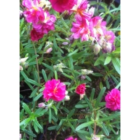 Helianthemum Cerise Queen (zonneroosje)