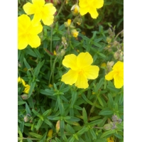 Helianthemum Golden Queen (zonneroosje)