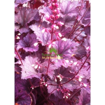 Heuchera Frosted Violet (purperklokje)