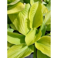 Hosta August Moon (hart lelie)