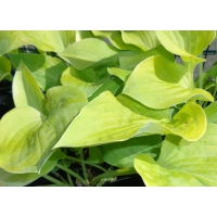 Hosta Birchwood Parky's Gold (hartlelie)