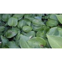 Hosta Blue Cadet (hartlelie)