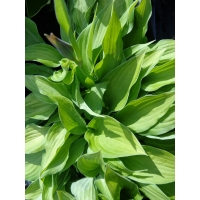 Hosta fortunei Albopicta (hartlelie)