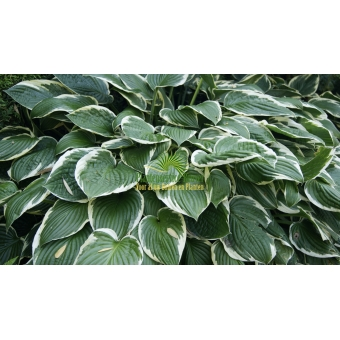 Hosta Francee (hartlelie)