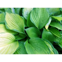 Hosta Gold Standard (hartlelie)