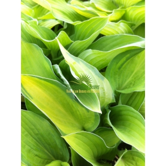 Hosta Ground Master (hartlelie)