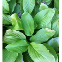 Hosta Honeybells (hartlelie)