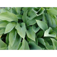 Hosta Krossa Regal(hartlelie)