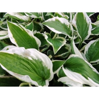 Hosta Patriot (hartlelie)