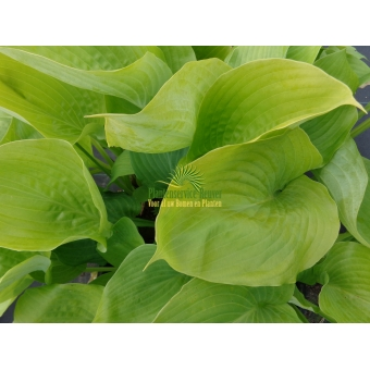 Hosta Sum and Subtance (hartlelie)