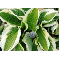 Hosta Wide Brim (hartlelie)