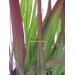 Imperata cylindrica Red Baron (japans bloedgras)