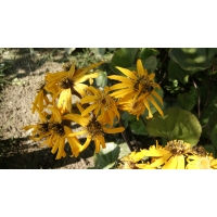 Ligularia dentata Othello (kruiskruid)