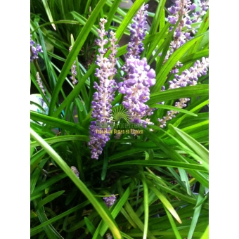Liriope muscari Big Blue (leliegras)