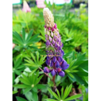 Lupinus Gallery Blue (lupine)