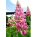 Lupinus Gallery Pink (lupine)