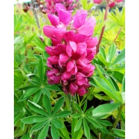 Lupinus Gallery Red (lupine)