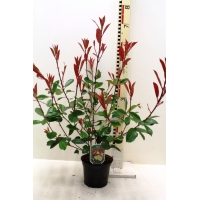 Photinia fraseri Red Robin (glansmispel)