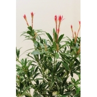 Pieris japonica Flaming Silver